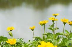 Flor del amarillo del trilobata de Wedelia en el río imagen de archivo