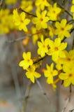 Flor del amarillo del nudiflorum del Jasminum del jazmín de invierno imágenes de archivo libres de regalías