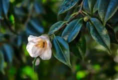 Flor del amellia del ¡de Ð con una abeja dentro Foto de archivo
