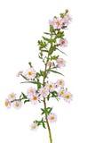Flor del amellus del aster Foto de archivo libre de regalías