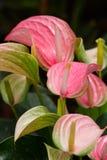 Flor del Anthurium Fotos de archivo libres de regalías