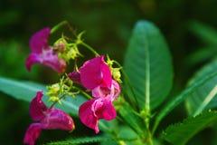 Flor del antirrino en un arbusto Fotos de archivo