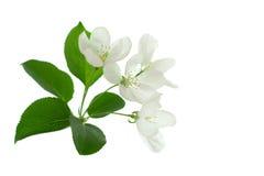 flor del Apple-árbol Imagenes de archivo