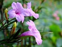 Flor del aquarrosa de Ruellia Fotografía de archivo