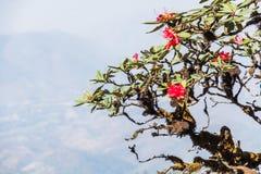 Flor del arboreum del rododendro Fotos de archivo libres de regalías