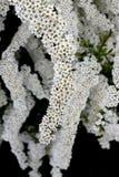 Flor del arbusto del Spiraea Fotos de archivo libres de regalías