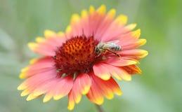 Flor del aristata del Gaillardia con la abeja de la miel Imagen de archivo libre de regalías