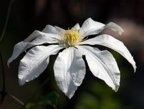 Flor del armandii de la clemátide Imagenes de archivo