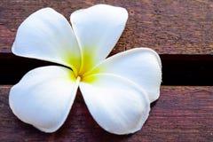 flor del aroma del plumeria Imágenes de archivo libres de regalías