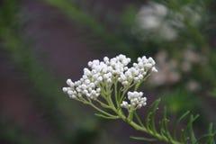 Flor del arroz Imágenes de archivo libres de regalías