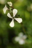 Flor del Arugula imagenes de archivo