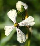 Flor del Arugula con descensos de rocío foto de archivo