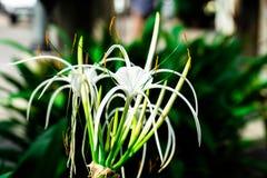Flor del asiaticum de Crinum en el jardín imagen de archivo