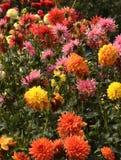 Flor del aster Imagen de archivo libre de regalías