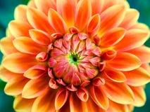 Flor del aster fotos de archivo