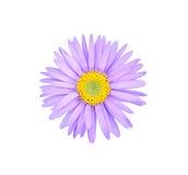 Flor del aster foto de archivo