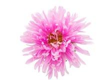 Flor del aster Fotos de archivo libres de regalías