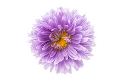 Flor del aster Foto de archivo libre de regalías