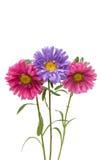 Flor del aster aislada imagen de archivo