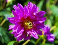 Flor del aster con el jardín bee_Botanical Hamburgo, Alemania Imágenes de archivo libres de regalías