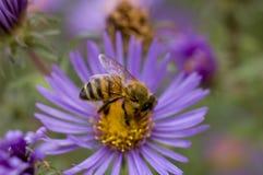 Flor del aster con la abeja de la chaqueta amarilla que recolecta el néctar Foto de archivo