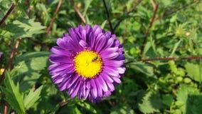 Flor del aster con poca abeja fotos de archivo