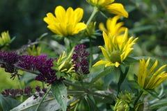 Flor del Asteraceae del Rudbeckia foto de archivo libre de regalías