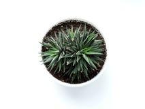 Flor del attenuata de Haworthia Imagen de archivo