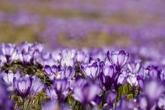 Flor del azafrán Foto de archivo