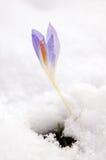 Flor del azafrán Imagenes de archivo