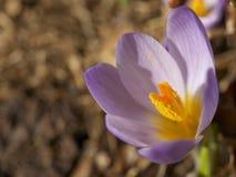 Flor del azafrán Imagen de archivo libre de regalías