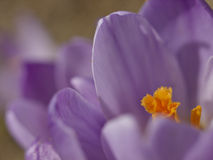Flor del azafrán Foto de archivo libre de regalías