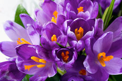 Flor del azafrán Fotografía de archivo