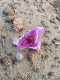Flor del azafrán Imágenes de archivo libres de regalías