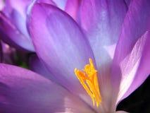 Flor del azafrán adentro Fotos de archivo