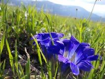 Flor del azafrán cerca de la montaña de Korolevsky Belok fotos de archivo libres de regalías