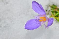 Flor del azafrán de la primavera fotos de archivo libres de regalías
