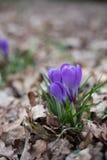 Flor del azafrán en el bosque Imágenes de archivo libres de regalías