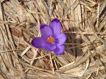 Flor del azafrán en hierba seca Fotos de archivo