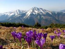 Flor del azafrán en hierba seca en las montañas Foto de archivo