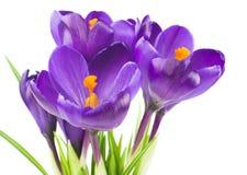 Flor del azafrán en la primavera Fotos de archivo