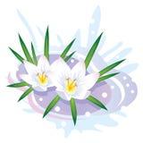 Flor del azafrán. Las primeras flores y nieve del resorte. Fotografía de archivo