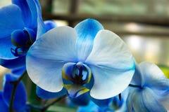 Flor del azul de la orquídea Foto de archivo libre de regalías