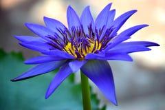 flor del azul del loto Foto de archivo libre de regalías