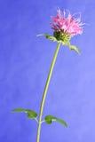 Flor del bálsamo de abeja (didyma de Monarda) Imagenes de archivo