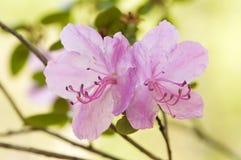 Flor del bérbero de Japón Imagen de archivo libre de regalías