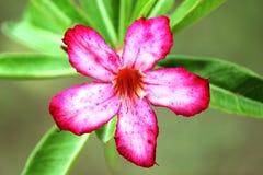 Flor del baniano foto de archivo