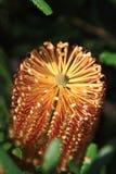 Flor del Banksia Imágenes de archivo libres de regalías
