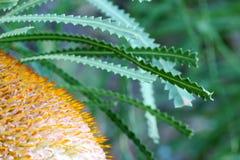 Flor del Banksia fotos de archivo
