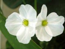 Flor del bebé del fango de Tejas Foto de archivo